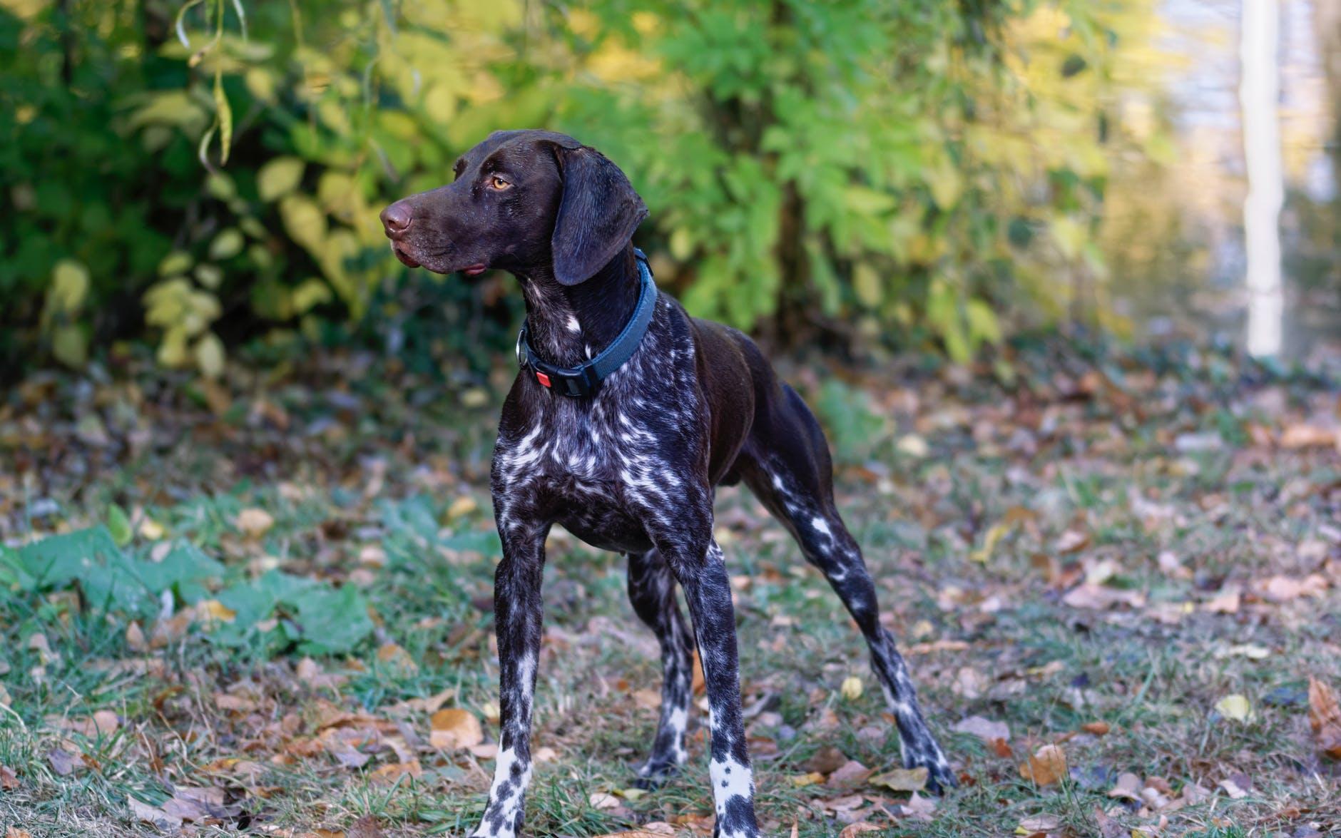 collare cane caccia